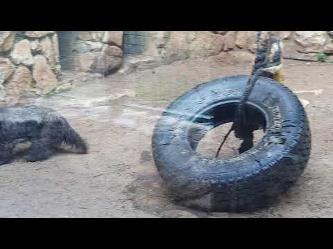 The only ratel in captivity in Israel