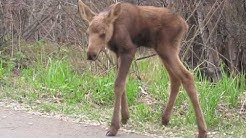 Momma Moose with Twin New Born Calves!