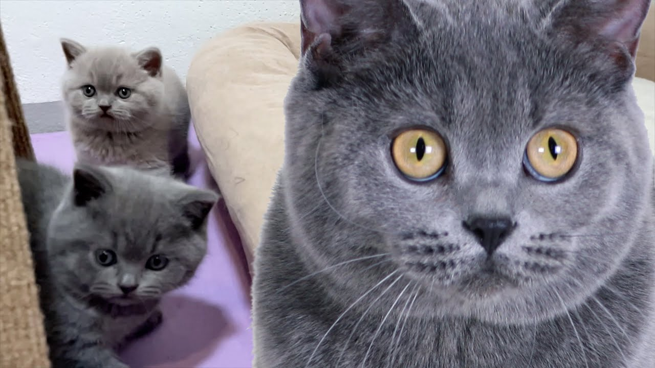 3 Little British Shorthair Kittens Playing Funny | Cat Video Cute