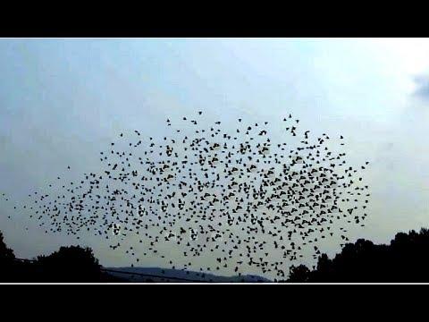 Algo inesperado ocurre en el interior de las bandadas de pájaros