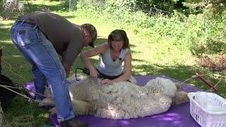 Shearing our Alpaca (River Hill Ranch)
