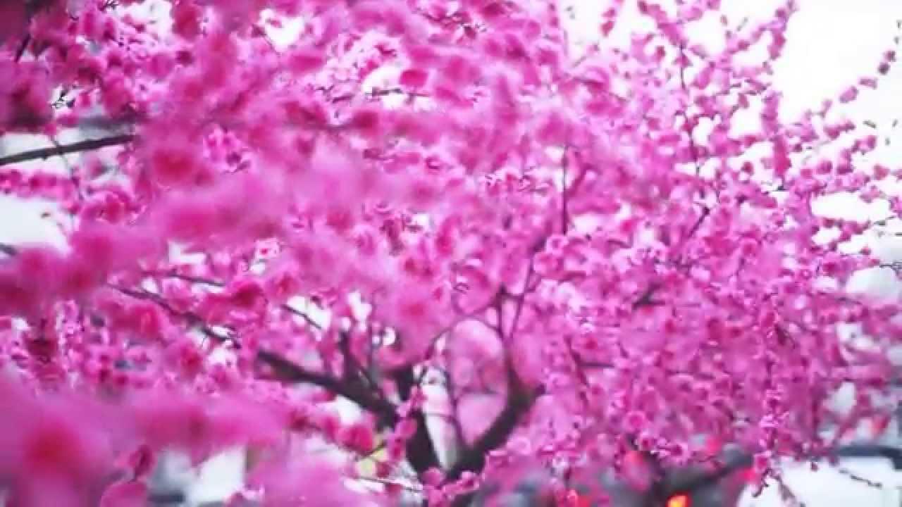 Дерево сакура своими руками фото 947