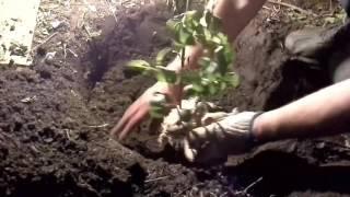 Как правильно посадить георгины.