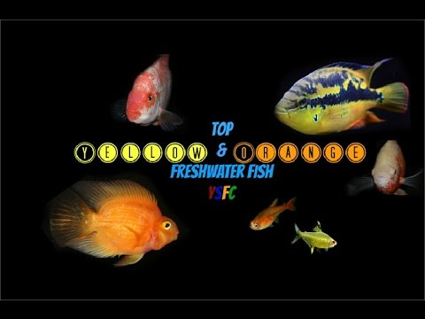 Top Yellow & Orange Freshwater Fish (YSFC)