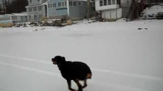 Running Rottie.avi