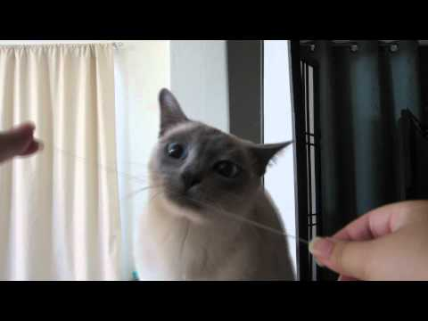 Tonkinese Cat Excited to Floss Her Teeth (HD)