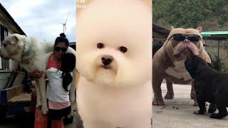 những loại chó cực dễ thương tik tok china