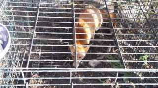 Fox caught in garden trap made from a large dog cage