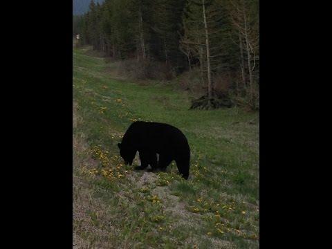 Banff Alberta Bears 2016