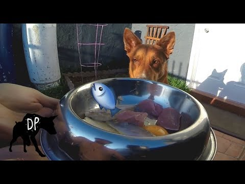 Australian Kelpie German Shepherd Mix eating raw Smelt | Raw Feeding Vlog