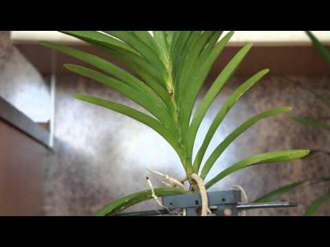 Орхидея Ванда.