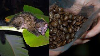 Вот так мучают животных ради производства дорогого кофе. Ужас!