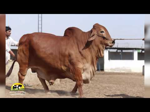 Mohammad Ahmed cattle