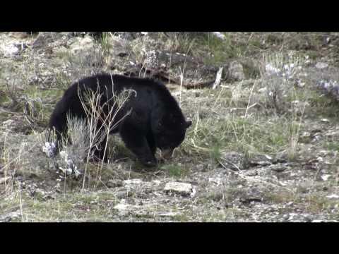 Yellowstone animals