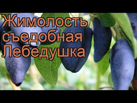 Жимолость съедобная Лебедушка (lebedushka) 🌿 обзор: как сажать, саженцы жимолости Лебедушка