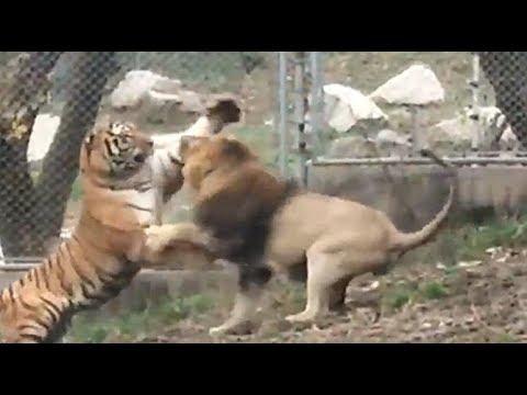 雄獅與老虎再起衝突 The Lion And The Tiger Fight Again