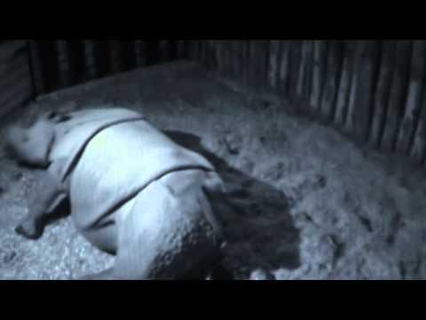 Geboorte Van Indische Neushoorn Baby In Dierenpark