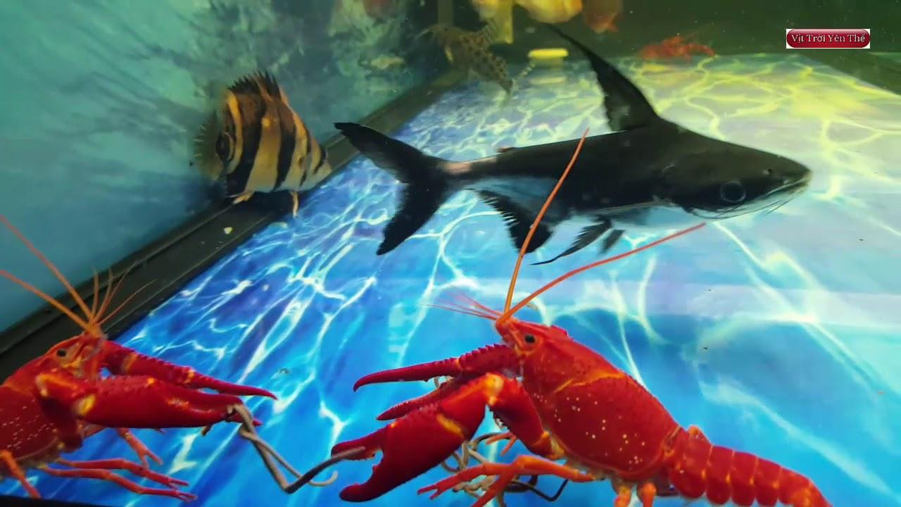Hướng dẫn cho cá cảnh, tôm cảnh ăn bằng mồi giun đỏ