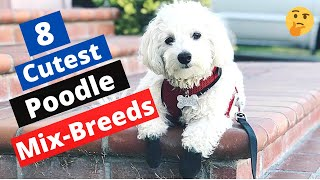 8 Cutest Poodle Mix Breeds that will Take your Heart Away