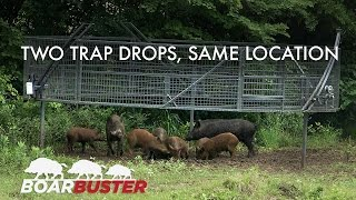 Two successful BoarBuster™ feral hog trappings at the same location