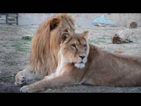 16+.У льва Чука  ЛЮБОВЬ !!!  тАЙГАН .Крым .