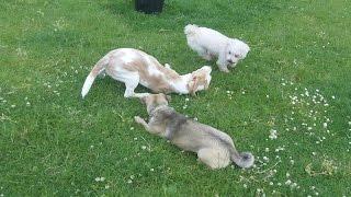 Beagle, Bichon & Jug Dog   A & B Dogs Boarding & Training Kennels.