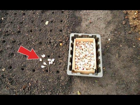 Не вздумайте сажать озимый чеснок на такую грядку! Секреты посадки озимого чеснока!