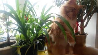 Кот породы Мейн кун.