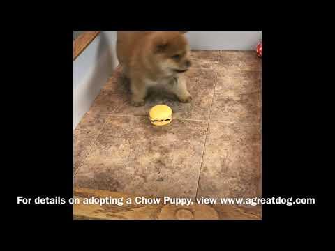 Female Chow Puppy