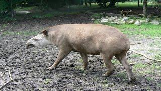 Tapir Paarung   Parung Bei Tieren | Paarung Der Tiere