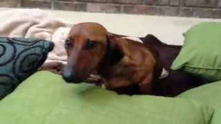 Meet Peso - Dachshund Hit By Car In Mexico And Saved By Upward Dog Rescue
