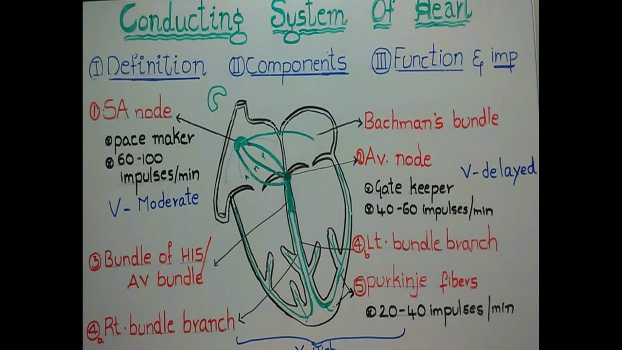 Conducting system of heart its definitioncomponents function and conducting system of heart its definitioncomponents function and importance ccuart Gallery