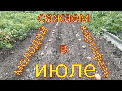 Повторная посадка молодого картофеля в июле.Тонкости посадки.Сорта картофеля | срокипосадкикартофеля | выращивание | картофеля | картофель | вырастить | молодой | томаты | ранний | огород | лук