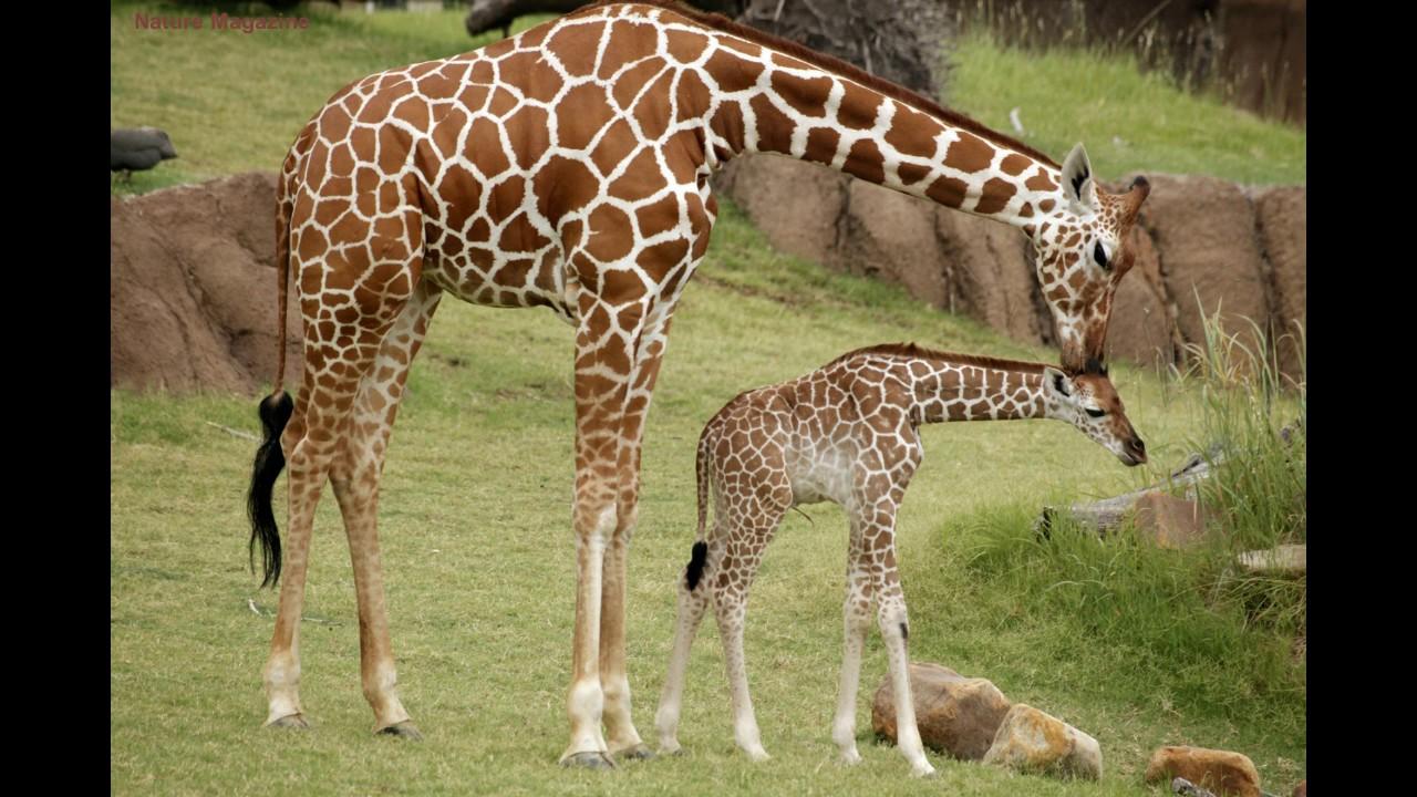giraffe sounds