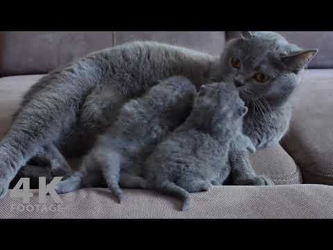 British Shorthair mom Cat Feeding her Two Kittens - 4K footage