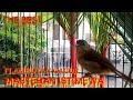 Flamboyan Gacor Ngebren Nembak Rapat Werganjawa  Mp3 - Mp4 Download