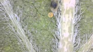 Birth Of A Spider Mite - Time Lapse - Slow Mo- GNSM