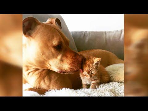 Pit Bull Treats Rescued Kitten Like a Princess