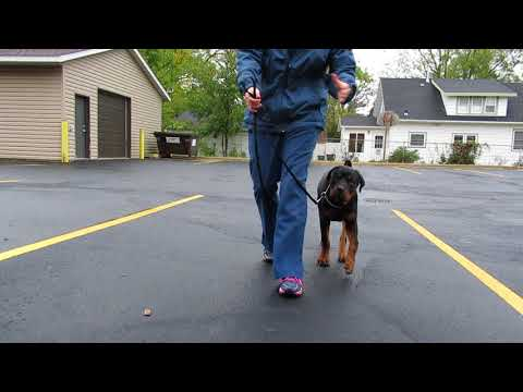 Reflection on maneuvers/commands with a 6-mo Rottweiler puppy