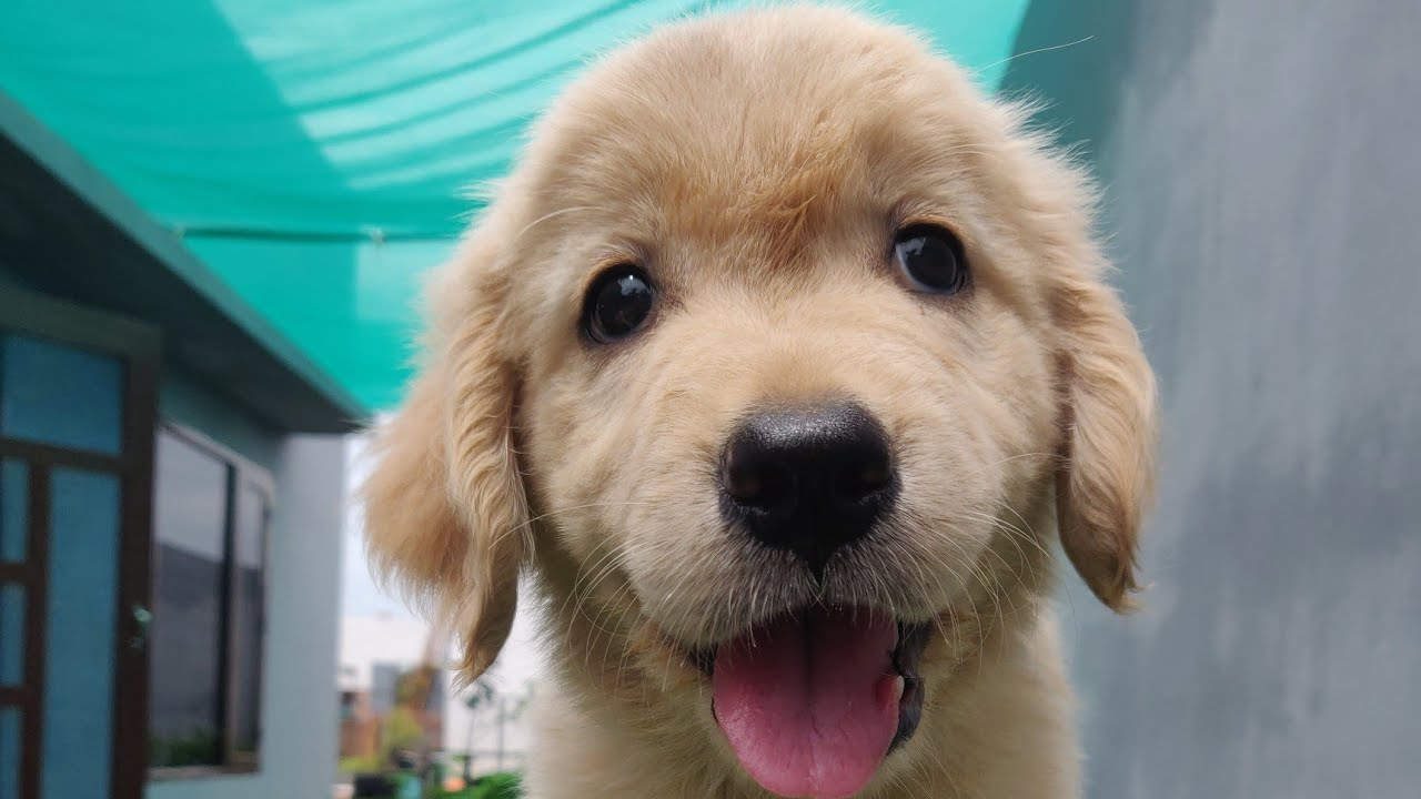Golden Retriever Female Puppy , Vaccination Done, 18000 Only