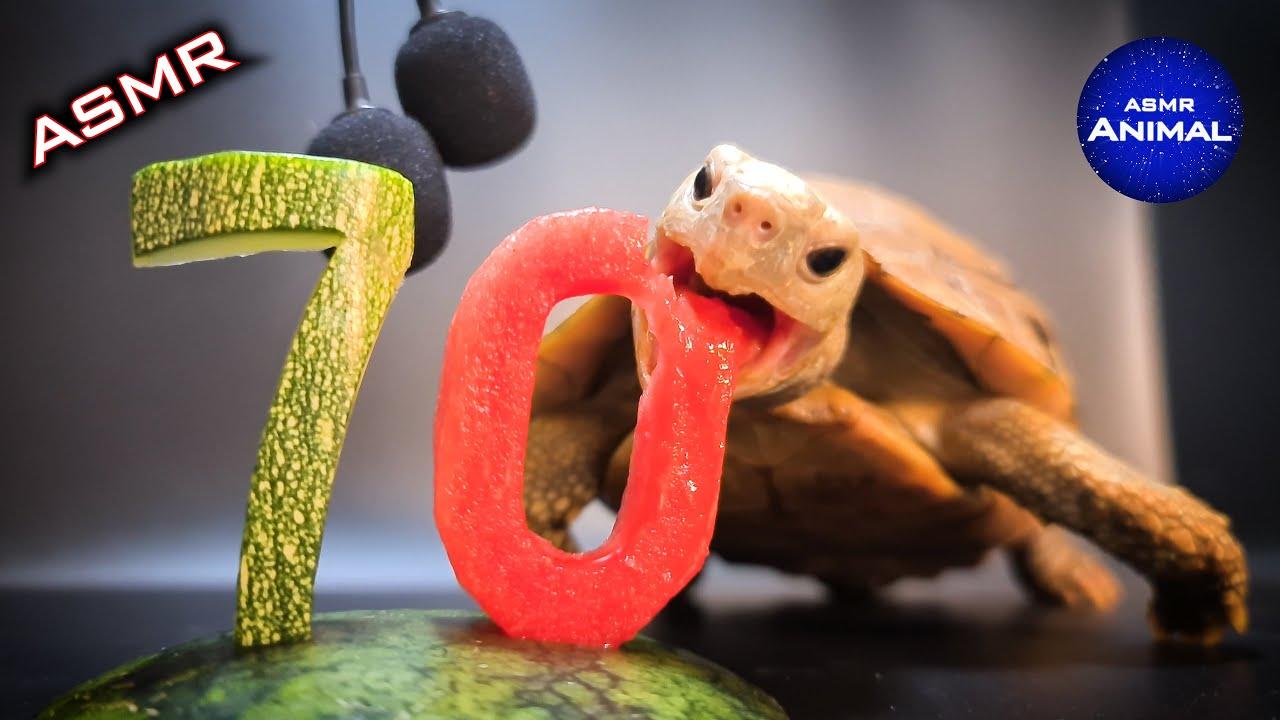 Tortoise Eating ASMR Turtle 🐢70