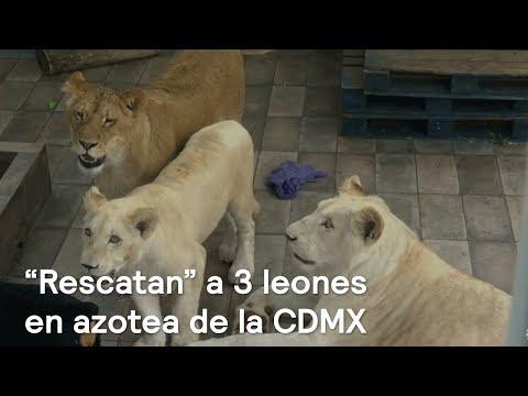 """Profepa """"rescata"""" a 3 leones en azotea de la CDMX - En Punto con Denise Maerker"""
