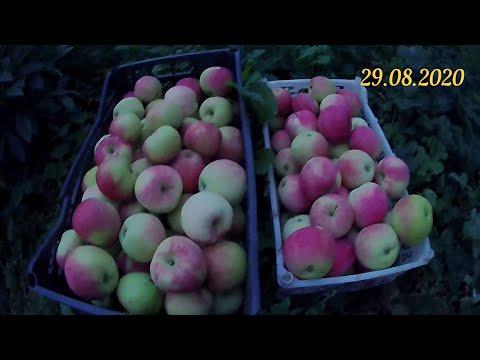 Яблоня Мельба. Сбор и хранение яблочного урожая. Простой самодельный плодосъёмник для яблок