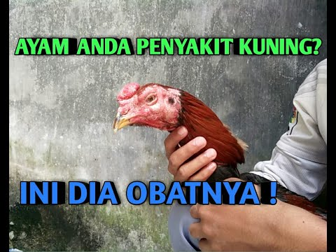 Cara Mengobati Penyakit Kuning Pada Ayam Bk Baru