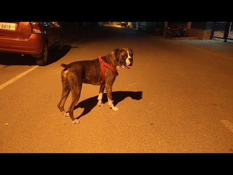 Boxer Dog | Night Stroll / Run | Obeying command | Fearless