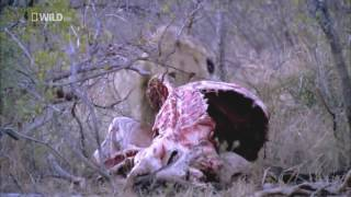 National Geographic Wilde HD Lions Documentary/ Львы Африки