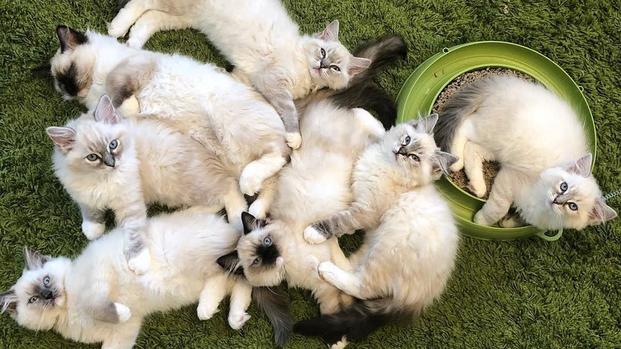 Cute And Cuddly Ragdoll Puppies - Love Puppies