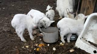 Маленькие козлята начинают кушать сами. Первый прикорм.