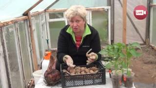 Персональный блог садовода и огородника Светланы Кацаповой 35 вып (посадка картофеля)
