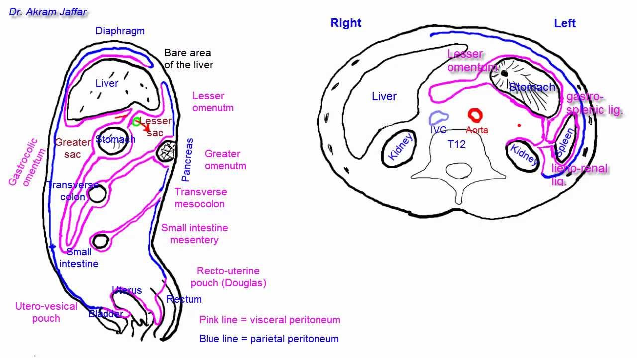 hight resolution of diagram of mesentery peritoneum